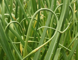 garlic scapes growing in the garden